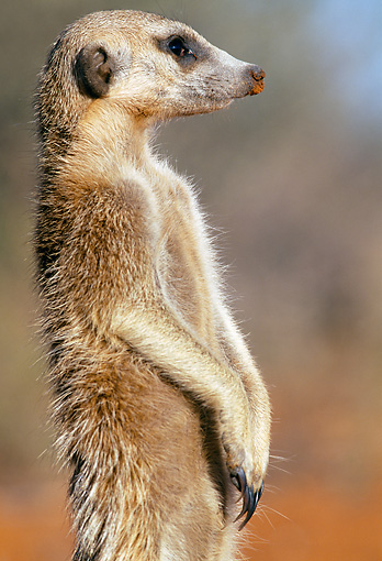 AFW 12 MH0011 01 © Kimball Stock Close-Up Of Meerkat Standing Upright Kalahari Desert Africa
