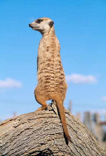 AFW 12 MH0013 01 © Kimball Stock Back View Of Meerkat Standing Upright On Log Kalahari Desert Africa