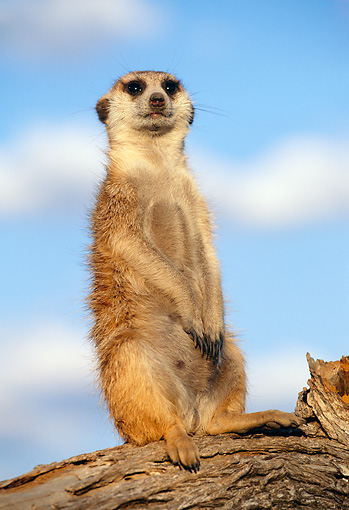 AFW 12 MH0014 01 © Kimball Stock Meerkat Sitting Upright On Log Kalahari Desert Africa