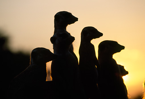 AFW 12 MH0017 01 © Kimball Stock Silhouette Of Meerkats Sitting Upright At Sunset Kalahari Desert Africa
