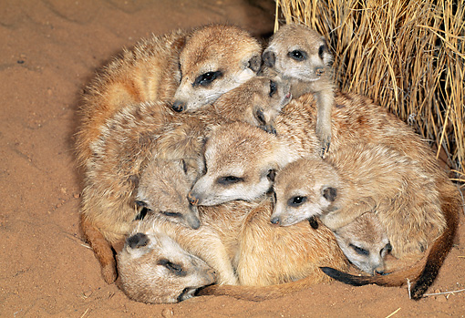 AFW 12 MH0018 01 © Kimball Stock Group Of Adult And Young Meerkats Resting On Sand Kalahari Desert Africa