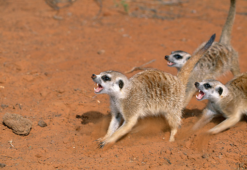 AFW 12 MH0020 01 © Kimball Stock Three Meerkats Showing Signs Of Aggression Kalahari Desert Africa