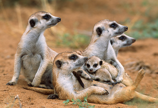 AFW 12 DB0001 01 © Kimball Stock Meerkat Adults And Pups Reclining