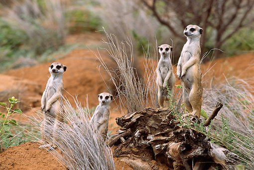 AFW 12 DB0002 01 © Kimball Stock Meerkat Family On Lookout