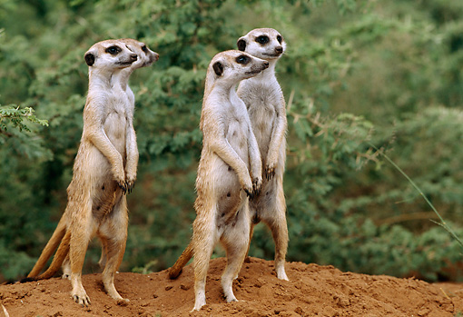 AFW 12 DB0003 01 © Kimball Stock Meerkat Family On Lookout