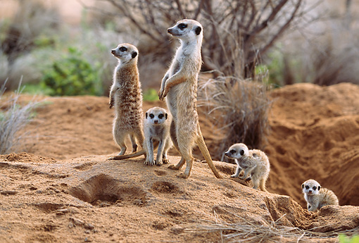 AFW 12 DB0004 01 © Kimball Stock Meerkat Adults On Lookout With Pups