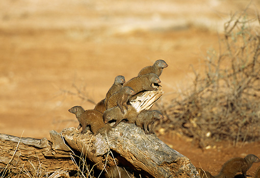 AFW 12 TL0001 01 © Kimball Stock Family Of Dwarf Mongooses Climbing On Log On Dry Grassland Africa
