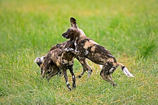 AFW 14 GL0001 01 © Kimball Stock African Wild Dogs Play Fighting On Grass Namibia