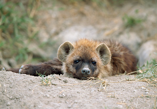 AFW 14 GL0002 01 © Kimball Stock Young Spotted Hyena Resting On Dirt In Serengeti, Tanzania
