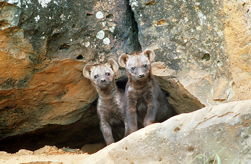 AFW 14 JE0002 01 © Kimball Stock Two Spotted Hyena Pups Standing Between Boulders Kenya