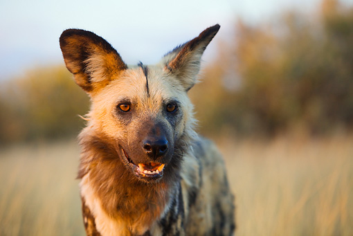 AFW 14 JZ0003 01 © Kimball Stock Close-Up Of African Wild Dog Standing In Savanna Kenya