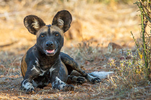 AFW 14 KH0002 01 © Kimball Stock African Wild Dog Laying In Kenya