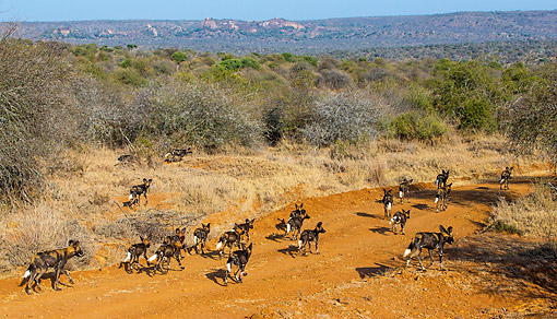 AFW 14 KH0003 01 © Kimball Stock Pack Of African Wild Dogs Walking In Kenya