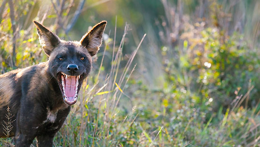 AFW 14 KH0004 01 © Kimball Stock African Wild Dog Growling In Kenya