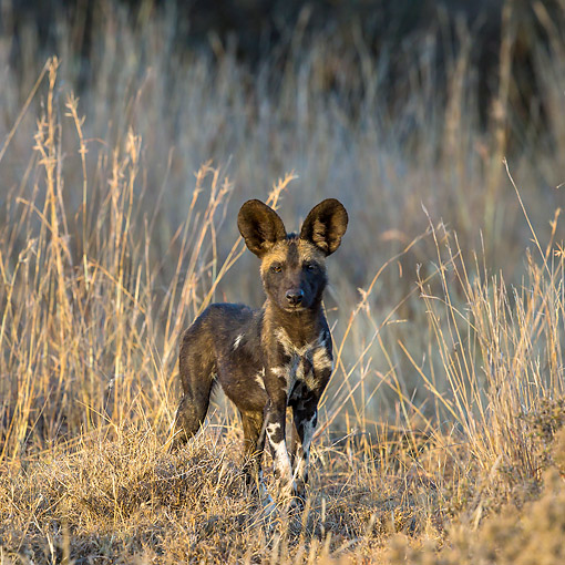 AFW 14 KH0005 01 © Kimball Stock African Wild Dog Puppy In Standing In Grass In Kenya