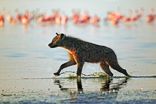 AFW 14 MH0002 01 © Kimball Stock Spotted Hyena Running In Water Kenya