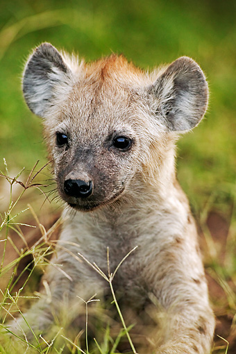 AFW 14 MH0003 01 © Kimball Stock Spotted Hyena Pup Laying In Grass Kenya