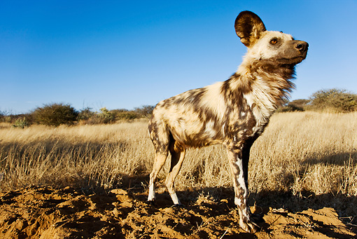 AFW 14 MH0006 01 © Kimball Stock African Wild Dog Standing On Savanna