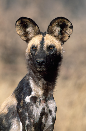 AFW 14 MH0009 01 © Kimball Stock Portrait Of African Wild Dog In Savanna