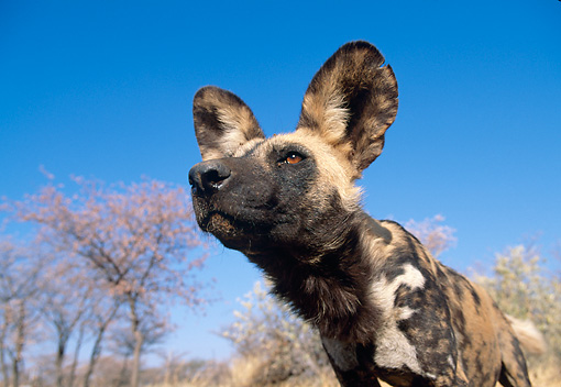 AFW 14 MH0010 01 © Kimball Stock Head Shot Of African Wild Dog In Savanna