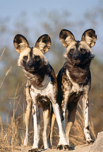 AFW 14 MH0012 01 © Kimball Stock African Wild Dogs Standing In Savanna