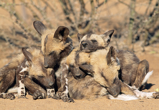 AFW 14 MH0013 01 © Kimball Stock African Wild Dog Pups Sleeping In Pile In Savanna