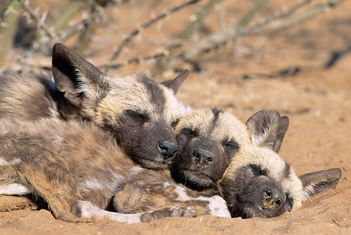 AFW 14 MH0014 01 © Kimball Stock Close-Up Of African Wild Dog Pups Sleeping In Pile In Savanna