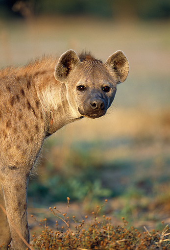 AFW 14 MH0016 01 © Kimball Stock Head Shot Of Spotted Hyena Standing On Plains