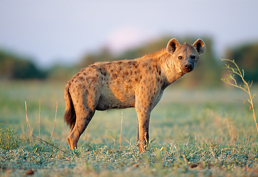AFW 14 MH0017 01 © Kimball Stock Portrait Of Spotted Hyena Standing On Plains Profile