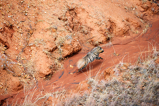 AFW 14 MH0019 01 © Kimball Stock Aerial View Of Striped Hyena Running On Red Dirt Kenya
