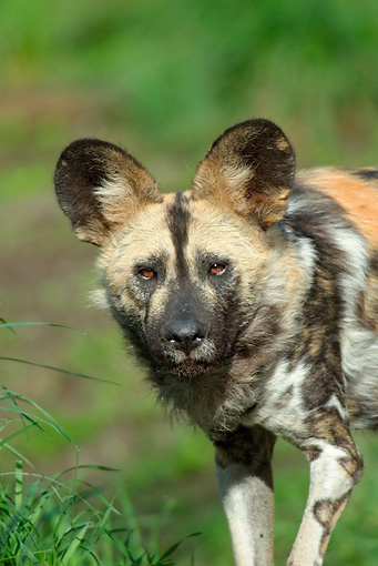 AFW 14 TL0001 01 © Kimball Stock Close-Up Of African Wild Dog