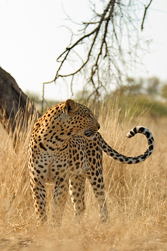AFW 15 DB0001 01 © Kimball Stock Leopard Standing In Tall Dry Grass On Savanna