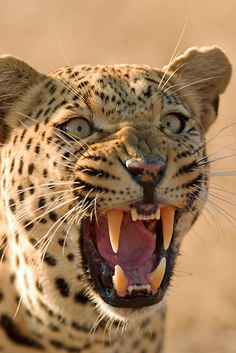 AFW 15 DB0002 01 © Kimball Stock Close-Up Of Leopard Snarling On Savanna