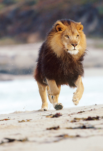 AFW 17 RK0028 25 © Kimball Stock Male Lion Running On Beach