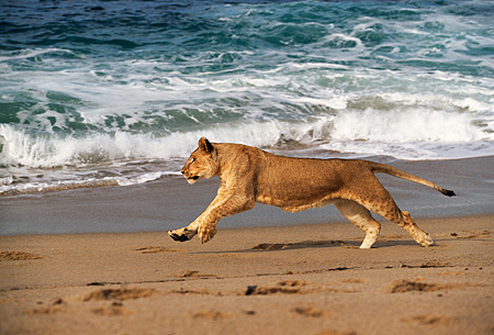 AFW 17 RK0001 25 © Kimball Stock Female Lion Running On Beach