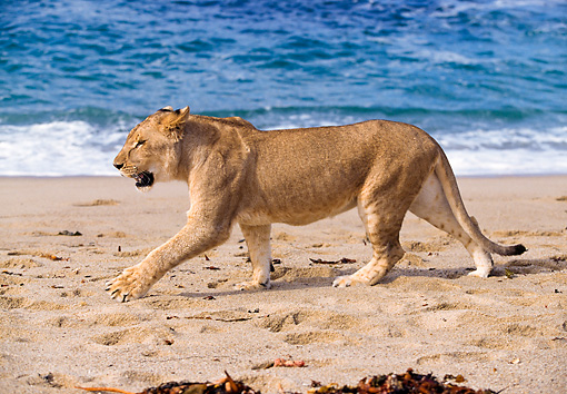 Female Lion Walking On Beach Side View | Kimballstock