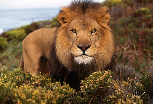 AFW 17 RK0009 06 © Kimball Stock Male Lion Ocean Background