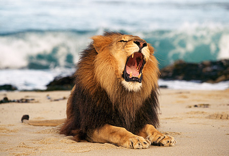 AFW 17 RK0012 05 © Kimball Stock Portrait Of Male Lion  On Beach