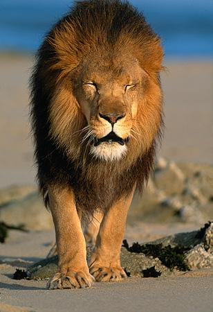 male lion walking on beach kimballstock