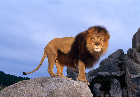 AFW 17 RK0052 03 © Kimball Stock Profile Shot Of Male Lion Standing On Rocks