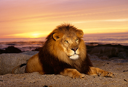 AFW 17 RK0065 14 © Kimball Stock Male Lion Laying On Sand At Beach