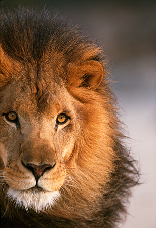 AFW 17 RK0070 07 © Kimball Stock Close Up Of Head Shot Of Male Lion