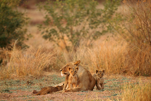 AFW 17 TL0003 01 © Kimball Stock Female African Lion Resting With Two Cubs On Savanna