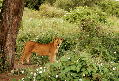 AFW 17 TL0006 01 © Kimball Stock Profile Of Female African Lion Standing Under Tree