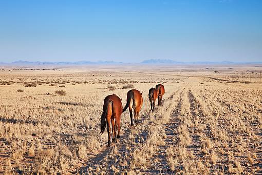 AFW 19 MH0002 01 © Kimball Stock Back View Of Feral Horses Walking Through Namib Desert