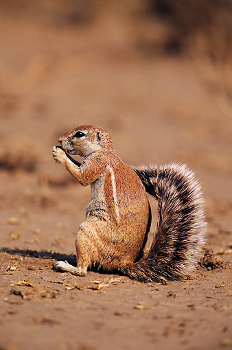 AFW 21 RF0001 01 © Kimball Stock African Ground Squirrel On Dirt South Africa