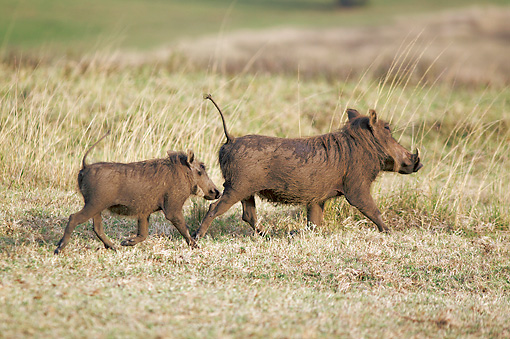 AFW 22 HP0001 01 © Kimball Stock Warthog Adult And Young Walking Through Grass Kruger National Park, South Africa