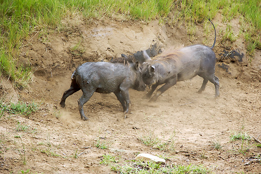 AFW 22 HP0002 01 © Kimball Stock Warthog Males Fighting In Dirt Kruger National Park, South Africa