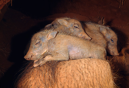 AFW 22 MH0004 01 © Kimball Stock Warthog Piglets Sleeping On Mother In Burrow