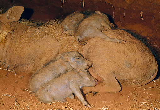 AFW 22 MH0005 01 © Kimball Stock Warthog Piglets Sleeping On Mother In Burrow